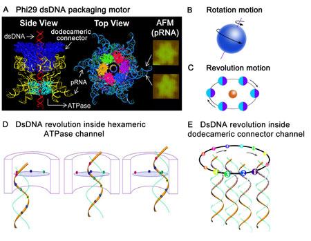 revolution biomotor