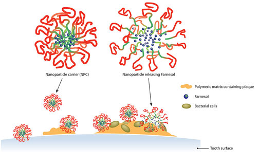Farnesol is released from the nanoparticle carriers into the cavity-causing dental plaque