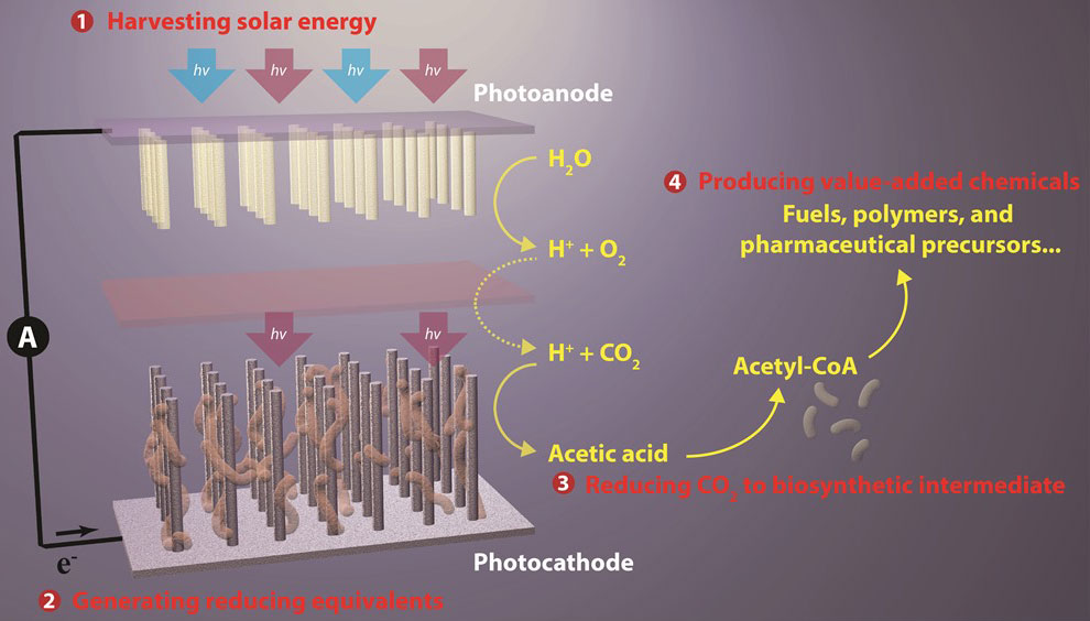 Nanowire-bacteria hybrids perform solar-powered green chemistry with captured CO2