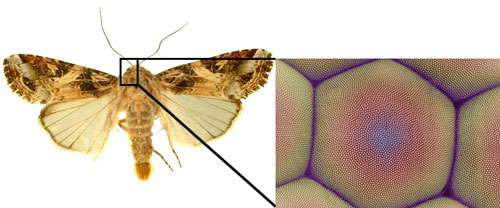 Moth eyes are highly antireflective due to their surface nanostructure