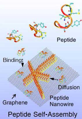 peptides self-assembling into nanowires on a 2-D surface of graphene