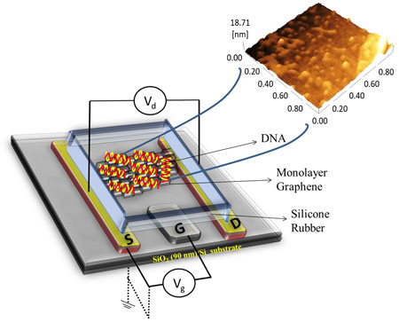 Schematic of a graphene-based field-effect transistor (left) and an atomic force microscopy image of graphene covered with single-stranded probe DNA (right)