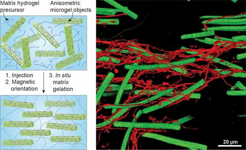 magnetoceptive microgel