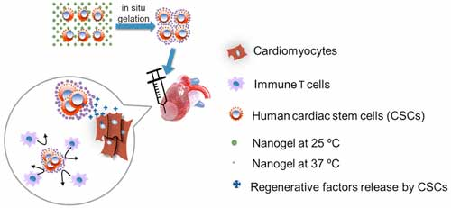 stem cells encapsulated in nanogels for heart attack patients