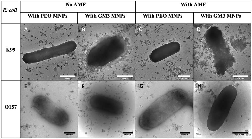 Selectively Killing Bacteria With Magnetic Nanoparticles