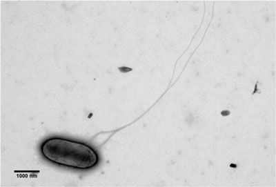 Transmission electron micrograph illustrating flagella of KN400 grown in an anode biofilm