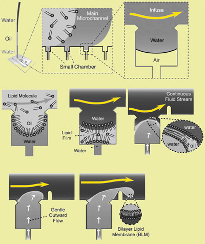 Microfluidic production line for uniform size vesicles with a single lipid bulayer