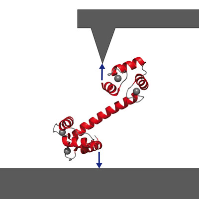 Getting a handle on signaling protein calmodulin via atomic-force spectroscopy