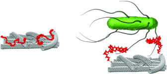 An aptamer attached to an electrode coated with single-walled carbon nanotubes interacts selectively with bacteria