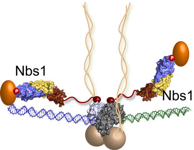 the MRN complex bridges a DNA double-strand break where the green and blue DNA sections meet