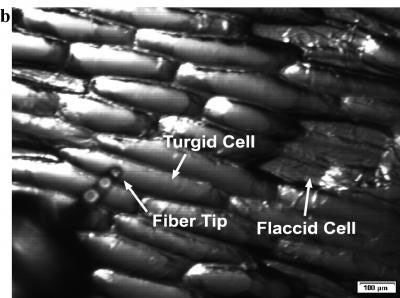 A tiny glass fiber is used to vaporize contents of cells to study the cell contents