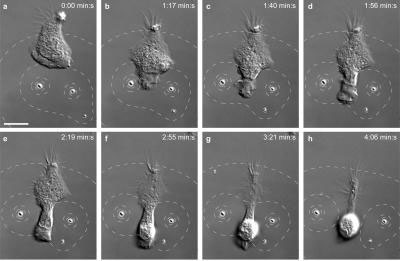 Neutrophil Avoids Microparticles