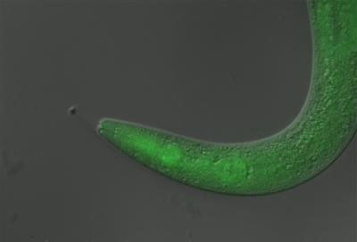 This tiny worm became temporarily paralyzed when scientists fed it a light-sensitive material, or photoswitch, and then exposed it to ultraviolet light