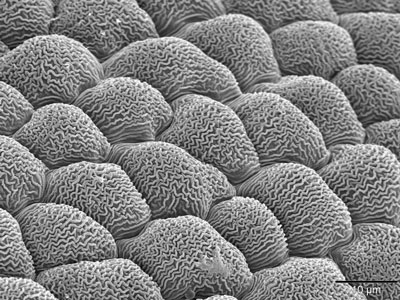 Scanning electron microscope view of plant cell nanoridges