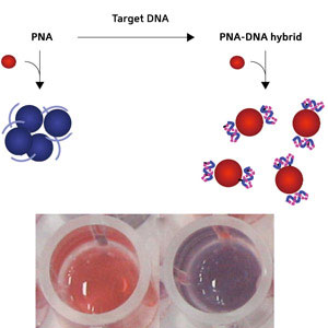 Schematic diagram showing the conversion of PNA to a PNA–DNA complex (top) and photographs (bottom) of gold nanoparticle solutions with the addition of a PNA–DNA complex (left) and PNA (right)