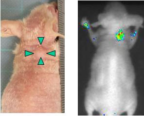 Appearance of the mouse with implanted liver cancer cells (left) and the real-time image of cancer cells expressing DLK-1 obtained using the near-infrared light-emitting probe