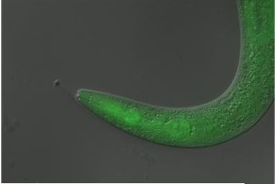 This tiny worm became temporarily paralyzed when scientists fed it a light-sensitive material, or