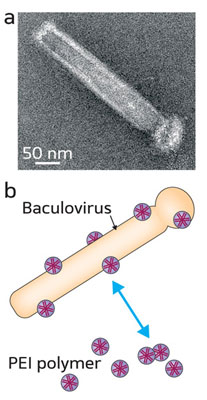 Electron micrograph showing the rod-shaped baculovirus. (b) Schematic illustration of the electrostatic coating of a baculoviral vector with positively charged polyethylenimine (PEI) polymers
