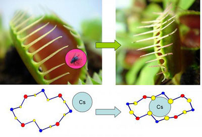 New material traps radioactive Cesium ions via 'Venus flytrap' mechanism