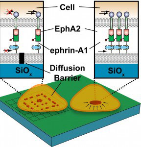 Metal lines patterned into a silica membrane beneath a cell act as a diffusion barrier, impeding the mobility of EphA2/ephrin-A1 signaling complexes so they accumulate along the boundaries of the barrier