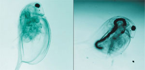 The empty guts of starved daphnids fill up with water-soluble carbon nanotubes