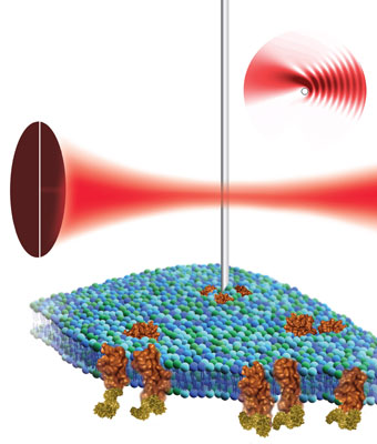 By placing a nanowire cantilever in the focus of a laser beam and detecting the resulting light pattern, scientists at the Molecular Foundry believe atomic force microscopy can be used to non-destructively image the surface of a biological cell