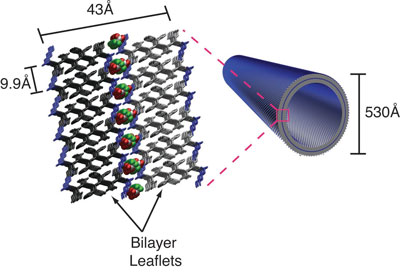 simple peptides can organize into bi-layer membranes