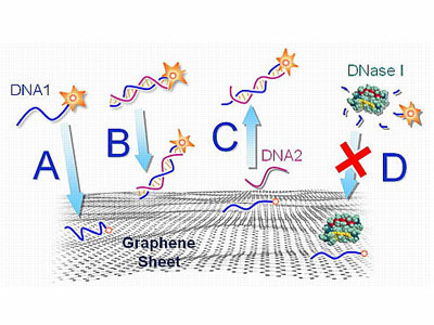 An illustration of how fluorescent-tagged DNA interacts with functionalized graphene
