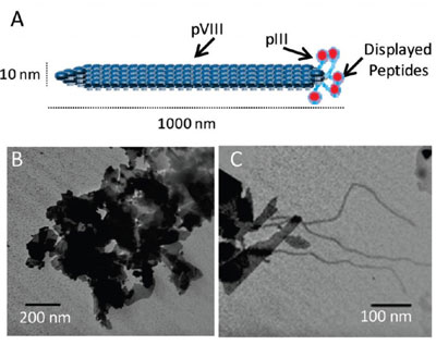 Low-voltage transmission electron microscopy (LVTEM) of NaMMT particles with the biopanned phage clones qualitatively showed selective binding to the aluminosilicate layers