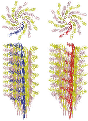 Transition between the L-type (left) and R-type flagellar filaments (right)