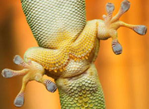 Geckos can move on virtually all surfaces, vertical and horizontal, due to their foot pads