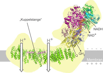 The structural model of mitochondrial complex I provides new insights in energy conversion at nanoscale