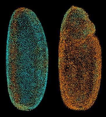 The Fly Digital Embryo at different developmental stages