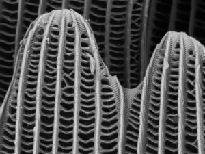 Scale of butterfly wing (Pieris Brassicae) taken on the new EVO HD electron microscope at 5kV acceleration voltage