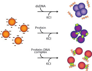 Schematic diagram showing how each part of a hormonal response system — double-stranded (ds) DNA, receptor proteins and protein–DNA complexes — aggregates differently when mixed with gold nanoparticles (spheres, left), resulting in observable differences in color
