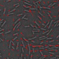 Image illustrates swimming bacteria in a thin film.