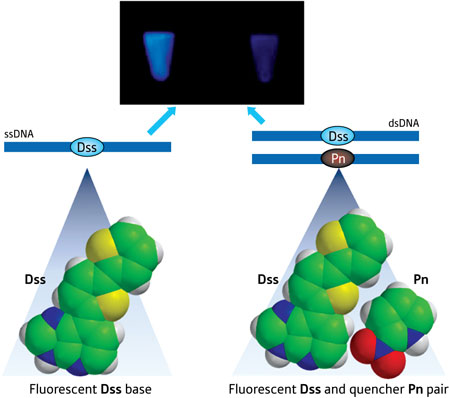 Schematic illustration showing fluorescence of the Dss base (left) and the Pn base (right) quenching the fluorescence upon hybridization