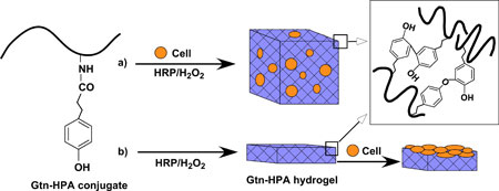 Formation of Gtn–HPA hydrogels by enzyme-catalyzed oxidation for (a) 3D and (b) 2D cell growth/differentiation