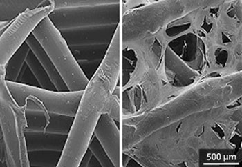 Scanning electron microscopy images showing the bare scaffold (left) and the growth of human MSCs on the scaffold after two weeks (right)