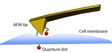 Schematic representation of a quantum dot immobilized on an AFM tip penetrating the membrane of a cell