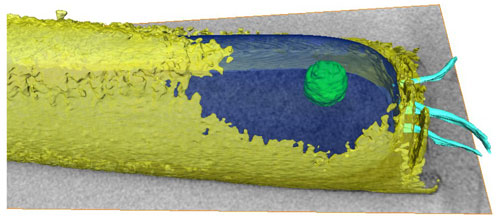3-D model of M. hungatei, with granule (green)