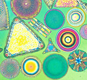 group of diatoms
