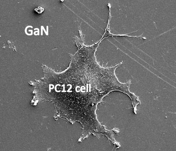 Scanning electron microscope image of cell growth on GaN that has been coated with peptides