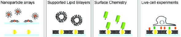 Schematic shows gold nanoparticle arrays embedded into a supported lipid bilayer membrane then selectively labeled with specific surface chemistry properties