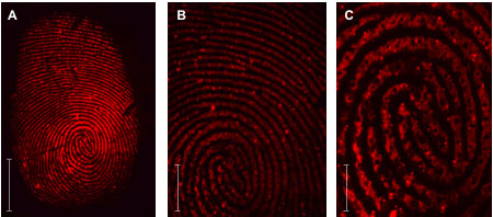 Images of fingerprints by visualising fluorescent markers