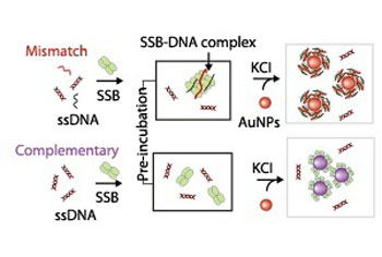 mechanism used to probe interactions between single-stranded DNA (ssDNA) and single stranded DNA-binding protein