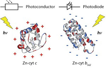 Zinc-substituted cytochrome b562 (right) immobilized on a gold electrode acts as an n-type photodiode, whereas zinc-cytochrome c (left) acts as a p-type photoconductor