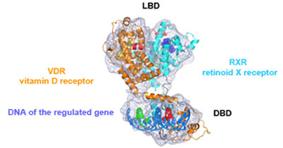 Representation of the 3D architecture of two vitamin receptors