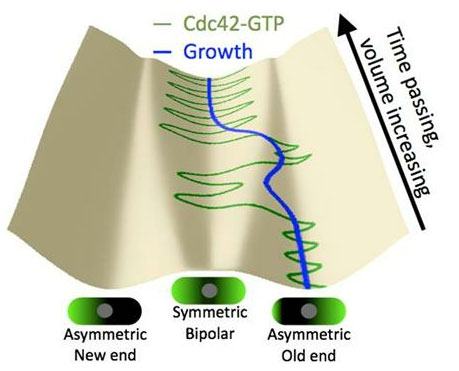 evolution of Cdc42 distribution during cell growth