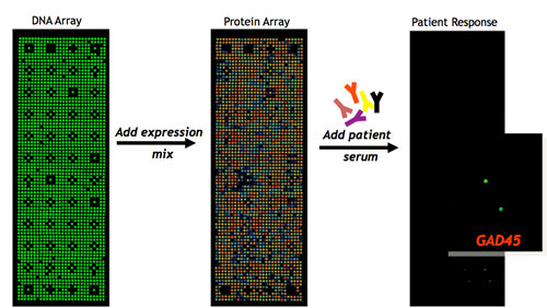 Nucleic Acid Programmable Protein Array, NAPPA, in actio